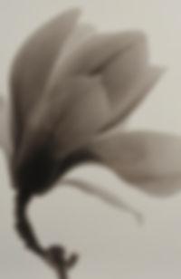 Magnolia3A.jpg