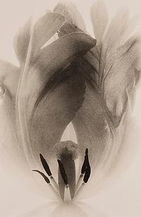 Parrot Tulip2.jpg
