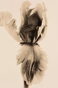 Parrot Tulip3.jpg