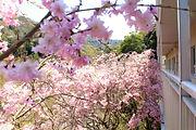 桜 ハートフルふしおベランダから (3) - コピー.JPG