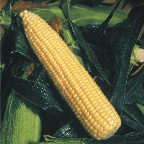 Butter-Gold Hybrid Corn ( 1 Ounce)