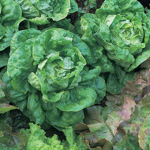 All Year Long Lettuce (300 seeds)
