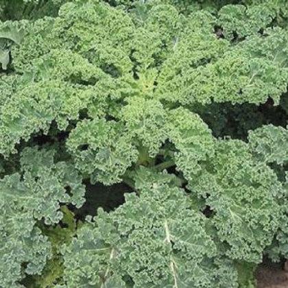 Blue Scotch Kale (+300 Seeds)