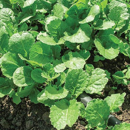 Ethiopian Kale (500 Seeds)