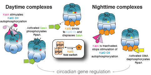 structure-based model for cyanobacterial circadian clock