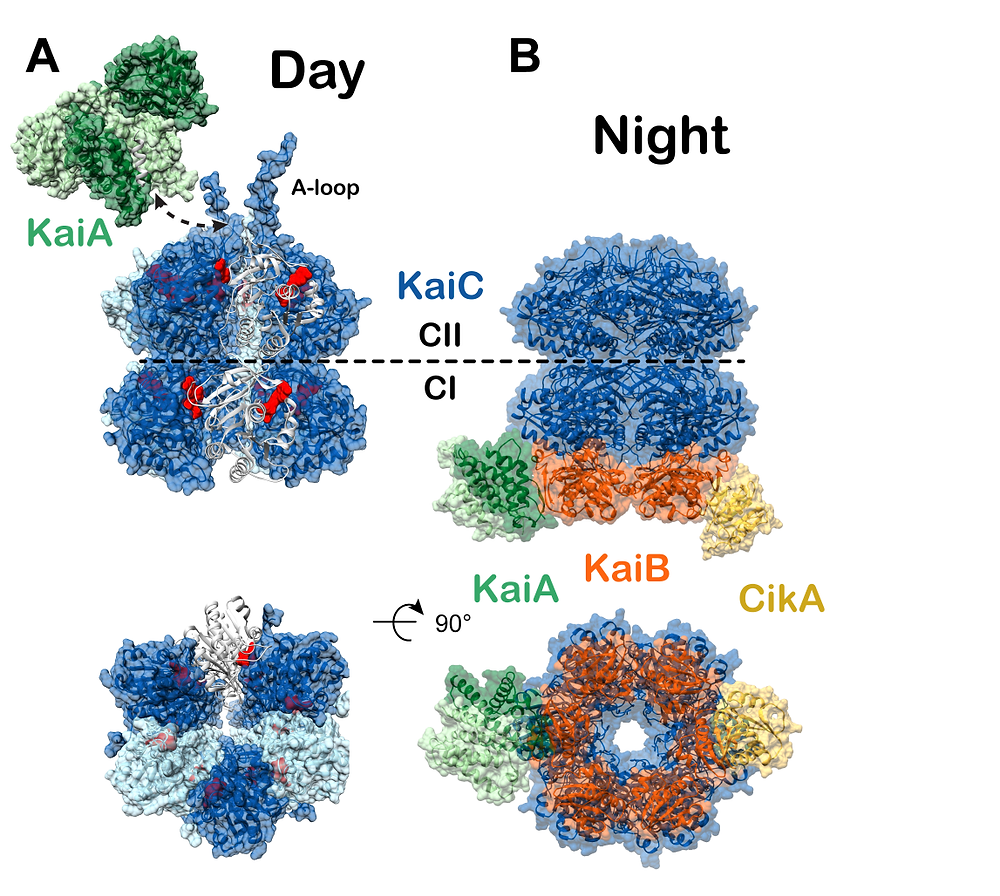 Cyanobacterial clock protein complexes