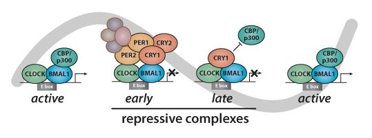 model of circadian transcriptional feedback loop