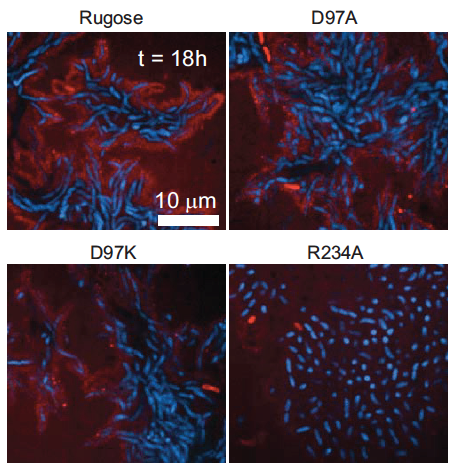 Architecture of V.cholera biofilm depends on RbmA
