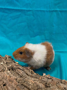 Young Male Guinea Pig- Herd:#2G3