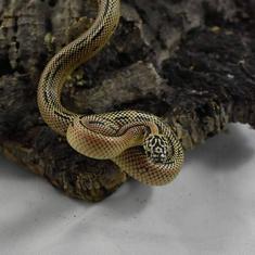 Mosaic Flordia King Snake- Female