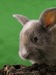 Young Bunny- Fluffle: #10B3