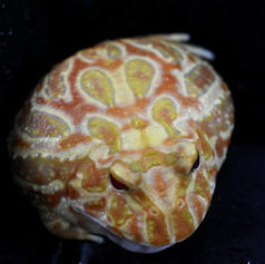Apricot Pac Man Frog