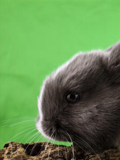Young Bunny- Fluffle: #10B4