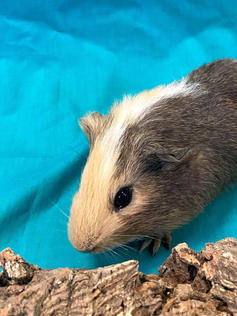 Young Male Guinea Pig- Herd: #5G2
