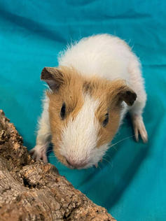 Young Male Guinea Pig- Herd:#2G2