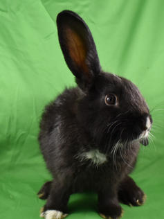 Young Bunny- Fluffle: #6B1