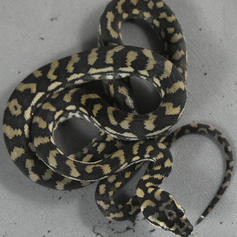 Costal Carpet Python #6