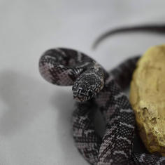 New England Axanthic Flordia King Snake- Female