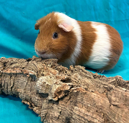 Adult Male Guinea Pig- Group: #1G