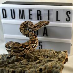 Dumerils Boa #5
