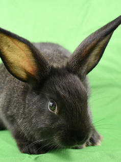 Young Bunny- Fluffle: #4B5