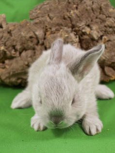 Young Bunny- Fluffle: #12B1