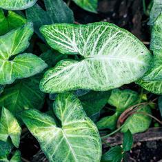 Syngonium podophyllum (Nephthyti)