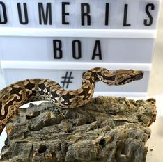 Dumerils Boa- Male #4