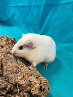 Young Male Guinea Pig- Herd: #3G1