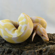 Enchi Albino-Female