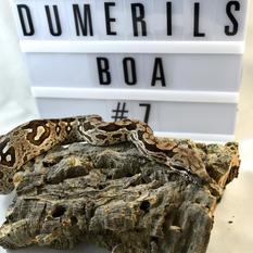 Dumerils Boa-Male #7