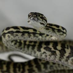 Zebra Carpet Python- Male #1