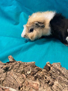 Young Male Guinea Pig- Herd: #5G1