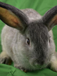 Young Bunny- Fluffle: #1B2