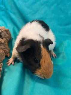 Young Male Guinea Pig- Herd: #2G1