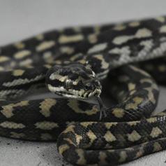 Costal Carpet Python #5