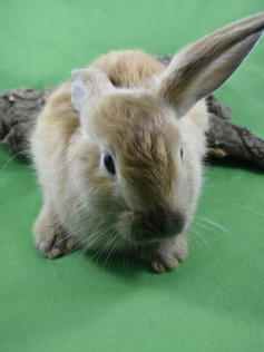 Young Bunny- Fluffle: #16B1
