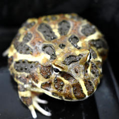 Chocolate Pac Man Frog