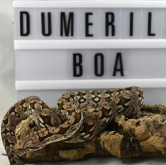 Dumerils Boa #14