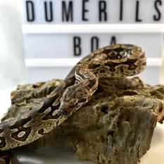 Dumerils Boas #3