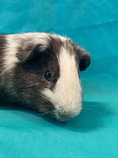 Young Male Guinea Pig- Herd: #4G1