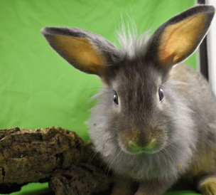 Young Bunny: Fluffle: #11B1