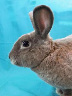 Male Adult Bunny- #18B1- Name: Joey