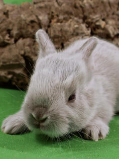 Young Bunny- Fluffle: #12B4