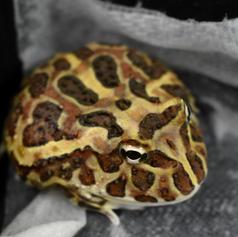 Tan Pac Man Frog