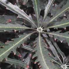 Plerandra elegantissima (False Aralia)
