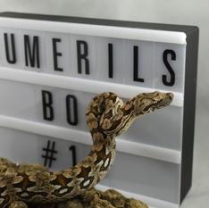 Dumerils Boa #16