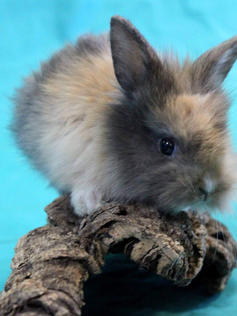 Young Bunny- Fluffle: #9B2