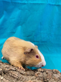 Young Male Guinea Pig- Herd: #2G4
