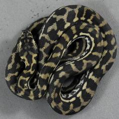 Costal Carpet Python #2